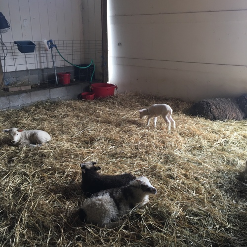 Inside a barn a small white lamb nibbles hay. In the foreground, two brown lambs and one white lamb rest.